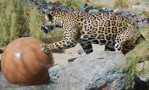The Living Desert Jaguar and Favored Toy