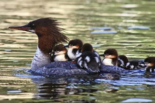 Michael Ecton Merganser and Babies