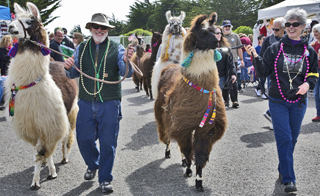 Bodega Bay's Fishermans Festival Llamas on Parade