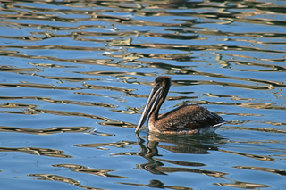 Diane Perry Bodega Bay Pelican and Golden Ripples